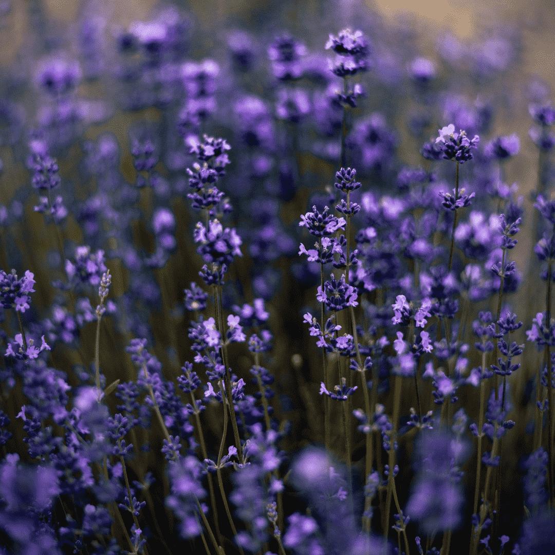 Levendula illóolaj Az egyik legnépszerűbb gyógynövény virágának illóolaja az egyik leggyakrabban használt esszenciális olaj.Azon kevés illóolajok egyike, amelyeket hígítás nélkül is a bőrre lehet kenni. Minden bőrtípusra kiváló, még a legérzékenyebb bőrűeknek is. Illata pedig semmihez sem fogható.Bőrnyugtató, fertőtlenítő, antibakteriális, gombaölő, gyulladáscsökkentő, fájdalomcsillapító, érzéstelenítő és vérkeringést serkentő hatású. Nagyon hatásos rovarcsípésre, rovarriasztásra és égési sérülésekre. Enyhíti a szúnyogcsípés okozta viszkető érzést, és csökkenti a kialakult duzzanatot. A korpás fejbőr problémájának megszüntetésében is segíthet.Kiváló immunrendszer erősítő is. Nagy jelentősége van olyan pszichés panaszok kezelésében, mint a stressz, fáradtság, szorongás, alvászavar. Csökkenti a vérnyomást, elmulasztja a fejfájást, enyhíti az emésztési zavarokat, csillapítja az izom- és ízületi fájdalmakat, oldja a merevséget, a görcsöket. Remek idegnyugtató, étvágygerjesztő, és kedvelt illatszer.Ahogy a kókusz, a levendula is ehető, iható, kenhető, szerethető, és gyógyhatású.
