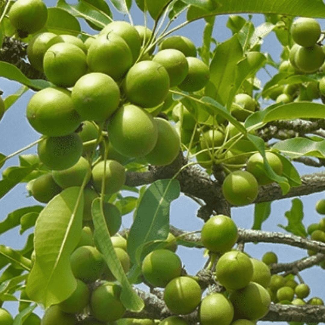Sheavaj Hosszan tartó hidratálás, visszahúzódó ráncok, enyhülő bőrgyulladás a sheavaj magas vitamintartalmának és az emberi bőr védőrétegéhez hasonló összetételének köszönhetően.A sheavaj egy közepesen kemény, édeskés illatú növényi zsiradék, amely a Közép-Afrikában élő karitéfa csonthéjas terméséből készül. A karitéfa 20 éves korában hozza első nagy, szilvára hasonlító, csonthéjas terméseit, és akár 200 éven keresztül is terem.A leszüretelt gyümölcsök 60-70% zsírtartalommal rendelkeznek. A hidegsajtolás megőrzi a sheavaj igen magas A-, E- és F-vitamin tartalmát. Vitamintartalma és az emberi bőrt védő természetes emulzióhoz hasonlító összetétele révén puhítja és regenerálja a bőrt, lágyítja a ráncokat, csökkenti a a bőrirritációkat, pattanásokat.Ekcéma és pikkelysömör esetén mérsékli a tüneteket, csökkenti a gyulladást. Kiválóan ápolja a száraz, neurodermitiszes bőrt. Segít begyógyítania a sérüléseket, hámosít, és enyhe fényvédőként is használható.Önmagában használható bőrápolóként, mivel segíti a bőr rugalmasságának megőrzését. Ezt a tulajdonságát várandósság alatt lehet legjobban kiaknázni. Rendszeres használatával a bőr rugalmas marad, könnyebben tágul, ahogy nő a pocak.Így elkerülhető a terhességi csíkok kialakulása. Természetesen táplálja és hidratálja bőrt, csökkenti a bőr öregedését, a ráncok kialakulását.