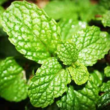 Fodormentalevél-őrlemény Vízpartokon, nedves réteken előforduló évelő fűszer- és gyógynövény. Kertekben jól termeszthető. Íze kellemes, mentolos. A növényi drog illóolajat (karvont, karveolt), cseranyagokat, flavonoidokat tartalmaz. A drogot a leveléből (Menthae crispae folium) vonják ki. Hatóanyagainak köszönhetően jó székhajtó, görcsoldó és emésztésjavító hatású, epetermelést fokozó, de gyomorerősítőként is elfogadott. Illóolaját megfázás esetén inhalálásra is használják. Meghűléskor teája köhögéscsillapító hatású.