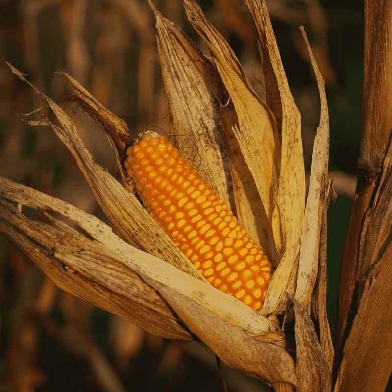 Kukoricakeményítő